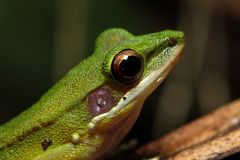 Beautiful White-lipped frog Chalcorana labialis isolated Royalty Free Stock Images