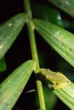 White-lipped frog (Hylarana raniceps), Bako National Park, Sarawak, Borneo. White-lipped frog (Hylarana raniceps) in the jungle at night. Bako National Park in Stock Photos