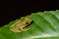White-lipped frog (Hylarana raniceps), Bako National Park, Sarawak, Borneo. White-lipped frog (Hylarana raniceps) in the jungle at night. Bako National Park in Royalty Free Stock Image