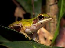 White-lipped Frog Hylarana raniceps Stock Images