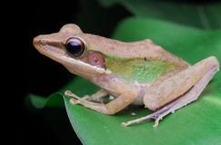 White lipped frog images Stock Photos