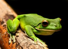 White Lipped Green Frog Stock Image