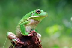 Tree frog, white lipped on green wood. White lipped on green wood royalty free stock photos