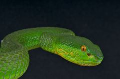 White-lipped island pitviper. The white-lipped island pitviper Royalty Free Stock Photos