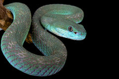 White-lipped island pitviper (Trimeresurus albolabris insularis) Royalty Free Stock Photos