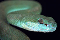 White-lipped island pitviper (Trimeresurus albolabris insularis) Royalty Free Stock Photography