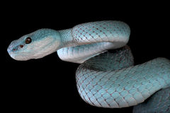 White-lipped island pitviper (Trimeresurus albolabris insularis) Stock Photos
