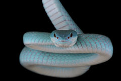 White-lipped island pitviper (Trimeresurus albolabris insularis) Stock Photography