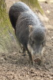 White-lipped peccary. The white-lipped peccary approaching on the muddy soil Royalty Free Stock Photo
