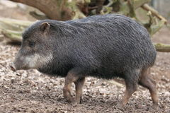 White-lipped peccary. The strolling white-lipped peccary Stock Photos