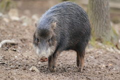 White-lipped peccary. The adult white-lipped peccary on the muddy soil Stock Images