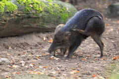 White-lipped peccary. In the soil Royalty Free Stock Photos