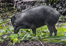 White-lipped peccary 2 Royalty Free Stock Images