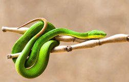 White-lipped Pit Viper royalty free stock photos