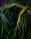 White lipped pit viper Stock Photo