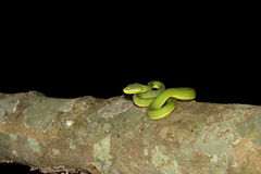 White-lipped pit viper Royalty Free Stock Image