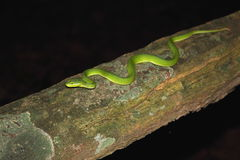 White-lipped pit viper venomous snake Stock Photography