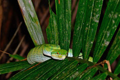 White-lipped pitviper, Bako National Park, Sarawak, Borneo, Mala Stock Images