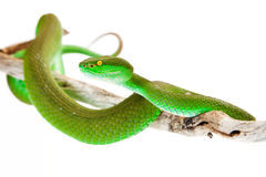 White-Lipped Pitviper Snake Closeup. Green color White-lipped Pit Viper, also known as Cryptelytrops albolabris, a venomous tree snake found mainly in southeast Stock Photo