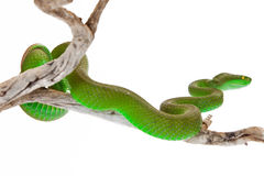 White-Lipped Pitviper Snake Looking Away Stock Photos
