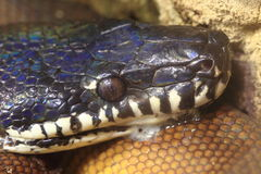 White-lipped python Royalty Free Stock Photo