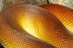 White-lipped Python (Leiopython albertisii) Stock Photography