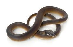 White-lipped Pythonschlange stockbilder