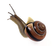 White-lipped  snail. On the white background Royalty Free Stock Photography