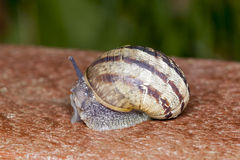 White Lipped Snail. Stock Photography