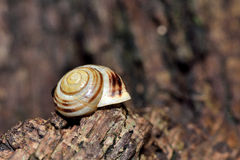 White-lipped snail (Cepaea hortensis) Stock Photography