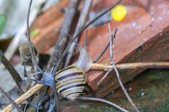 White-lipped snail  Cepaea hortensis  is very slightly smaller. Than the grove snail royalty free stock photography