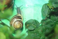 White-lipped snail. Crawling among the leaves Royalty Free Stock Photography