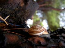 White-lipped snail detail Royalty Free Stock Photo