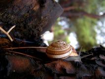 White-lipped snail detail royalty free stock photo