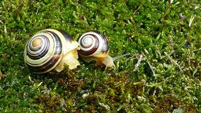 White-lipped snail or garden banded snail Cepaea hortensis. The little snail moving fast on the moss and big snail does not move. Time Lapse