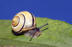 White lipped snail Stock Image