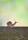 White lipped snail Stock Images