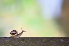 White lipped snail Stock Photo