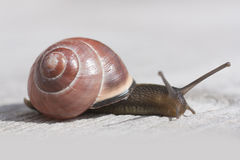 White lipped snail Royalty Free Stock Images
