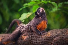 White-lipped tamarin, monkey sitting in a tree. Royalty Free Stock Photography