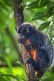 White-lipped tamarin, monkey sitting in a tree. Royalty Free Stock Images