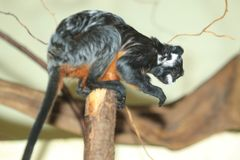 White-lipped tamarin. Sitting on the wooden post Stock Photos