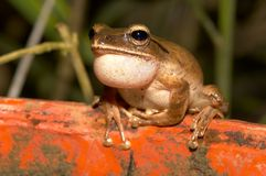White lipped Tree Frog stock photo