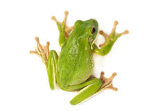 White Lipped Tree Frog. On a white background Royalty Free Stock Image