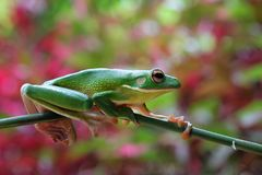 Beautiful white lipped tree frog on branch. White lipped tree frog on branch with beautiful background Royalty Free Stock Photography