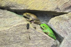 White-lipped tree frog. The couple of young white-lipped tree frogs Stock Photo