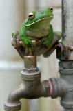 White-lipped Tree Frog on faucet Royalty Free Stock Photos