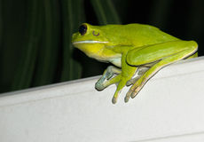 White-lipped tree frog Stock Photos