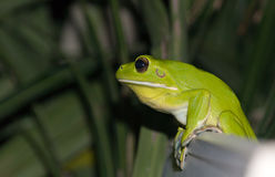 White-lipped tree frog Royalty Free Stock Image
