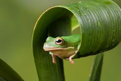 White Lipped tree frog hiding Stock Image
